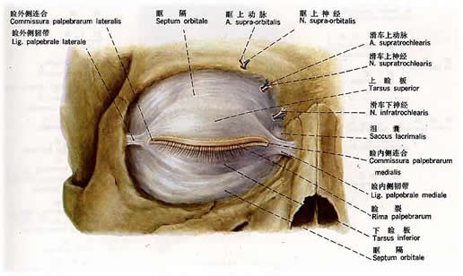 男性人体构造图_人体解剖图-Xjishu.Com