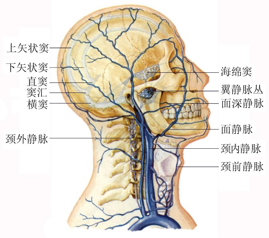 头颈部静脉解剖示意图 人体解剖图, 医学图库