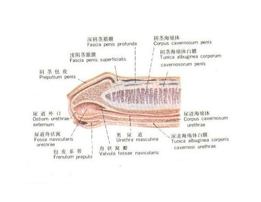 男性阴茎生理结构图 生理结构图